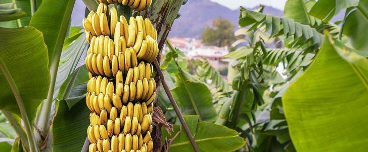 فوائد الموز – فوائد قشر الموز – اضرار الموز