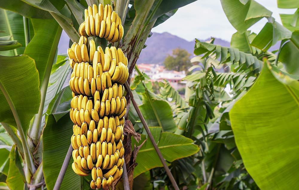 فوائد الموز لمرضى السكرى