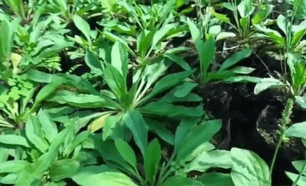 عشبة الإسبغول