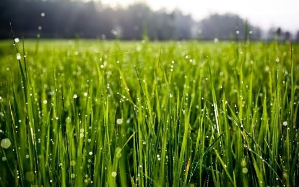 عشبة القمح فوائدها وطريقة الاستخدام