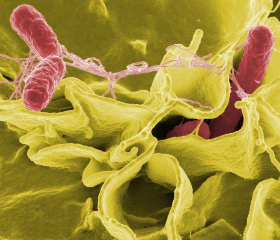 أين توجد البكتيريا المسببة للسالمونيلا