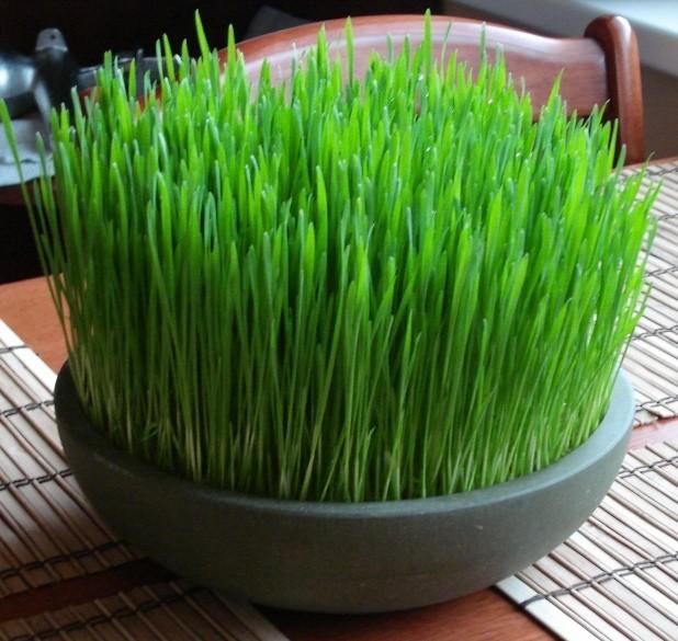 مكونات نبتة القمح