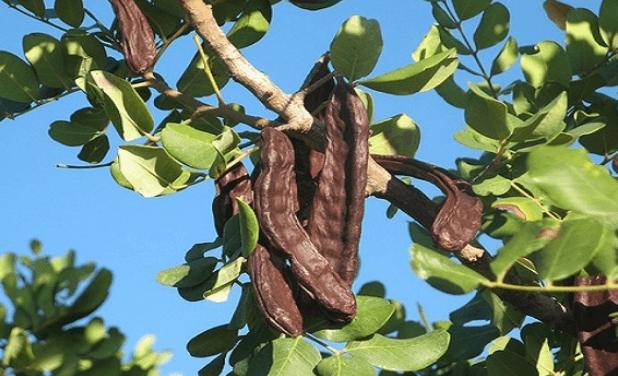 فوائد ثمرة الخروب