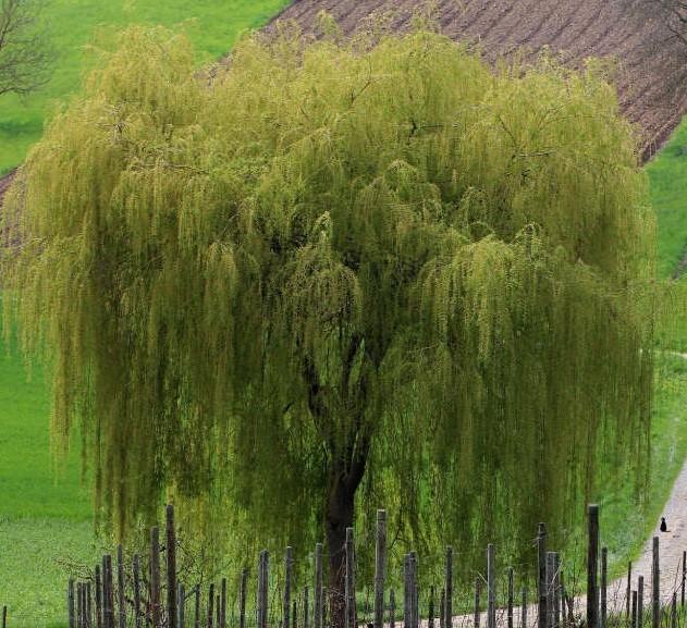 فوائد نبات الصفصاف