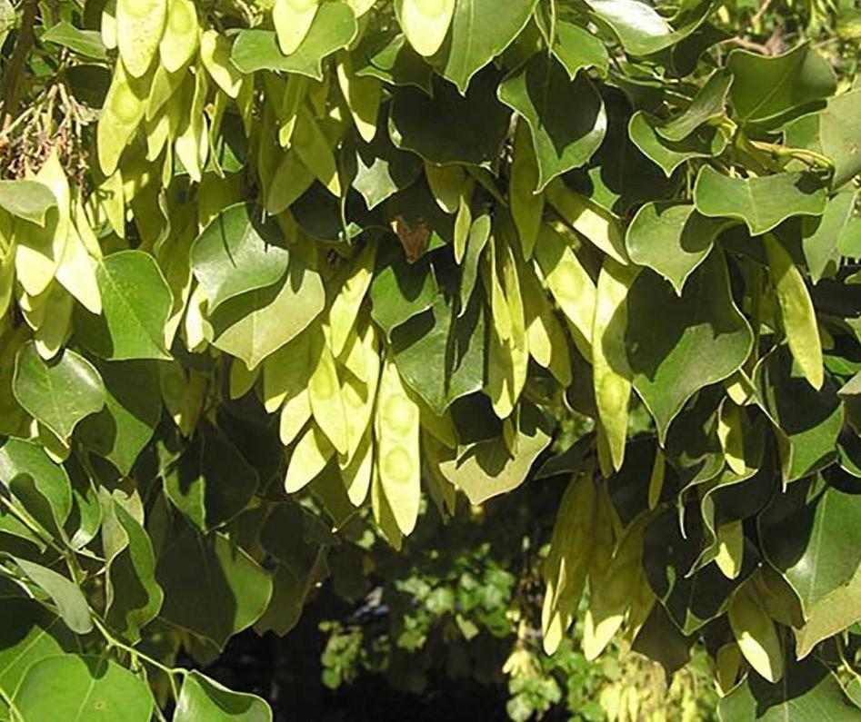 فوائد شجرة السرسوع