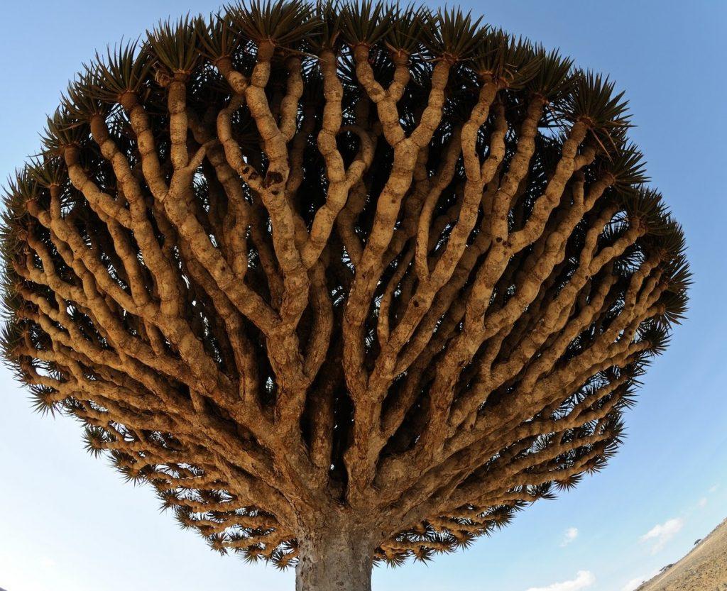 أهم فوائد شجرة دم التنين
