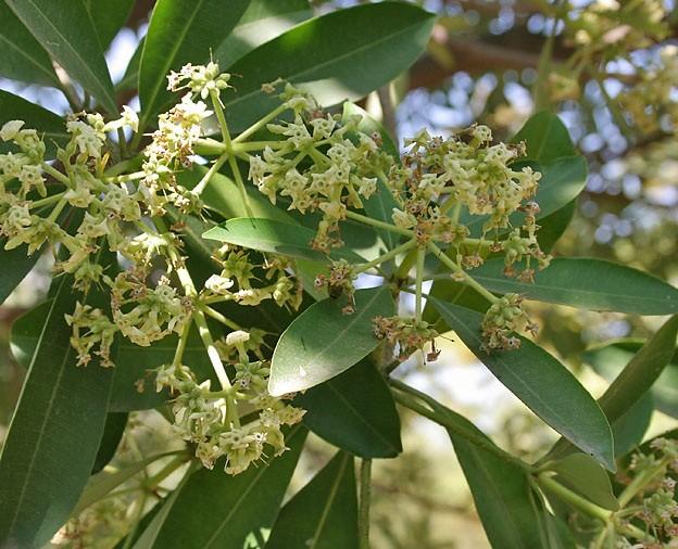 Photo of شجرة السرسوع وفوائدها العلاجية