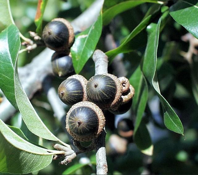 فوائد ثمار شجرة البلوط للجسم