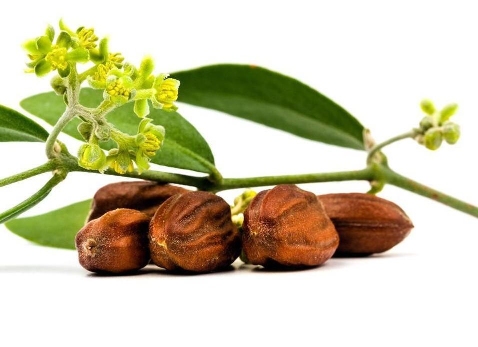 جوجوبا - زيت الجوجوبا وفوائده وأهم أستخداماته