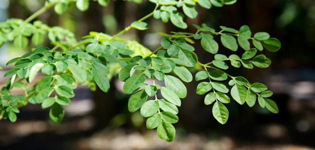 Photo of فوائد شجرة المورينجا