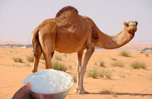 Photo of فوائد حليب الإبل أهم 14 فائده سوف تجعلك تحرص على تناوله