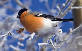 أنواع طيور الزينة وأشكالها عصافير الزيبرا