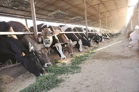 داء البروسيلات عند الأبقار والعلاج