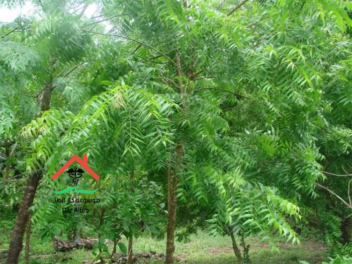 Photo of فوائد شجرة النيم تعرف على أهم 11 فائده