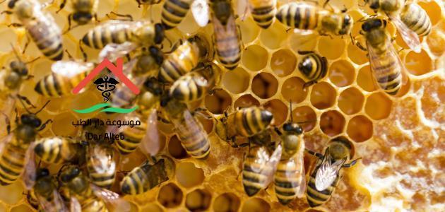انواع النحل وأهم اعداء النحل