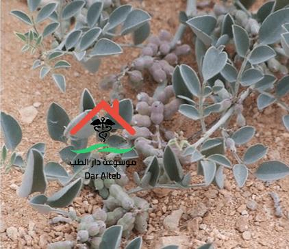 Photo of مضار عشبة الوسمة على الصحة والجسم