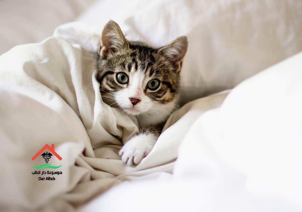 Photo of علاج البراغيث عند القطط في المنزل بكل سهولة وبطرق مضمونة وفعالة 100%